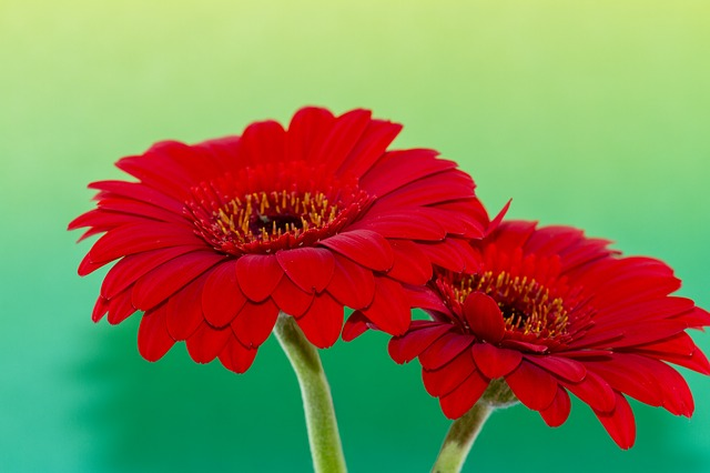 červené gerbery